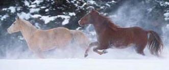 Paarden-in-sneeuw