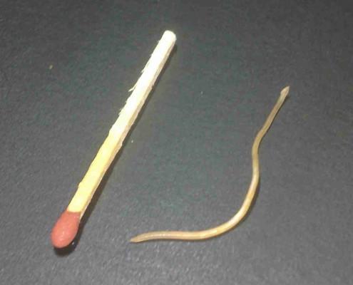 Erbrochene Spulwürmer bei der Katze (Foto: VPL 'Der Wald')