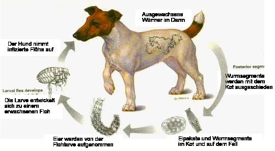 Zyklus bandwurm hund