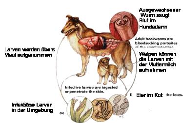 Zyklus hakenwurm hund