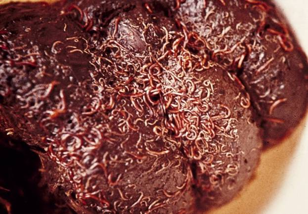 Blutwürmer auf dem Kotballen(foto M. Eysker)