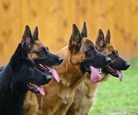 Hunde mit Aufmerksamkeit